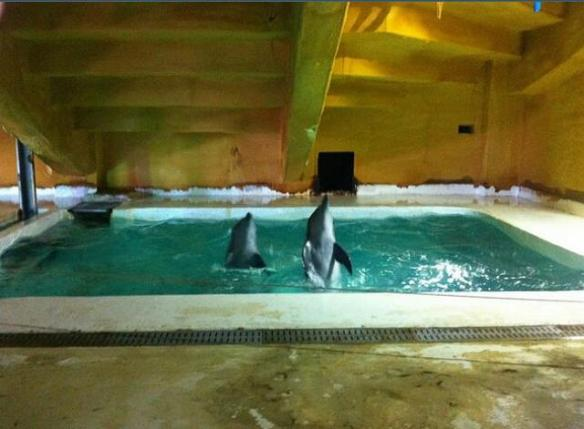 Two Taiji Dolphins in a tiny pool under a stadium panicked and stressed far from the ocean at Sharm-el-Sheikh