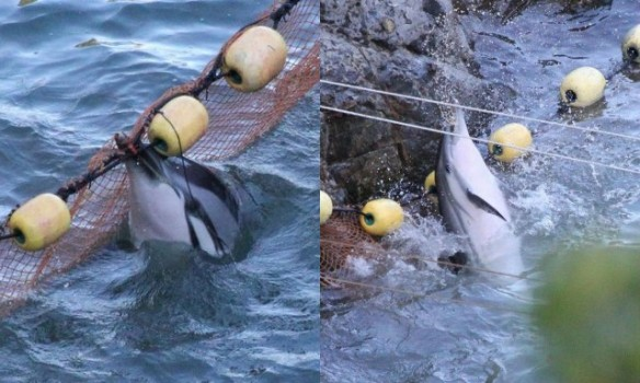 Panicked striped dolphins would be shown no mercy