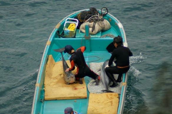 Pantropical Spotted Dolphins and trainers working with killers By SSCS C.G's January 21, 2013