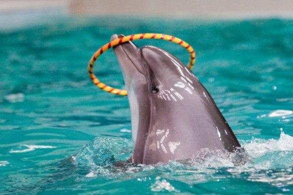 A Taiji Dolphin at the Dubai Dolphinarium 2012