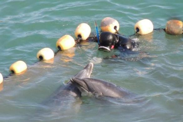 Bottlenose dolphins have last moments together before being dragged to slaughter.  By SSCS C.G. 1.20.13