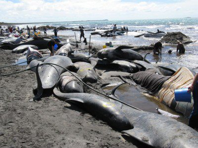 Impacts of Navy Sonar on Whales and Dolphins Now Beyond a Smoking Gun