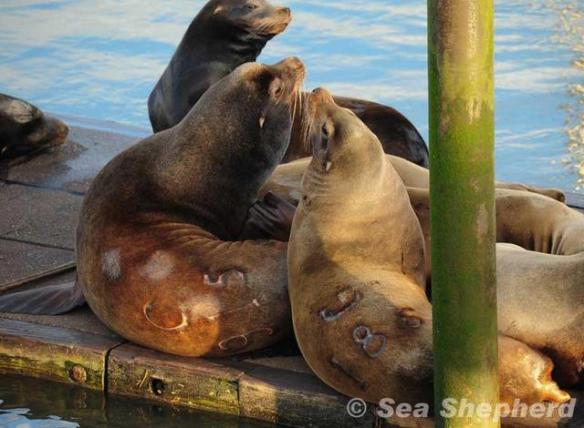 Branded sea lions at the Port of Astoria by SSCS Dam Guardians March 24, 2013