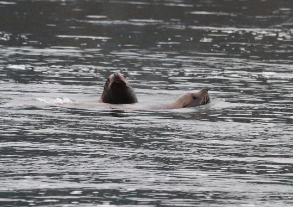 Sea lions at the Bonneville Dam March 22, 2013By SSCS Dam Guardians