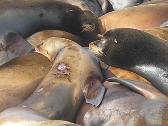 A wounded sea lion struggles for life. March 22, 2013By SSCS Dam Guardians