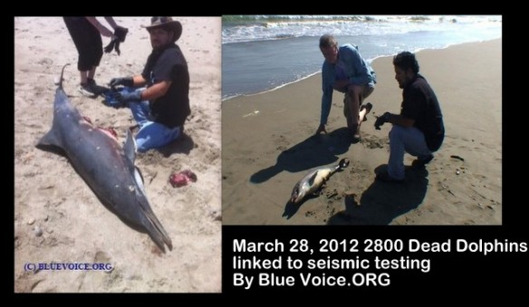 Blue Voice was on the scene as 2800 dolphins continued to wash up on the beaches of North Peru