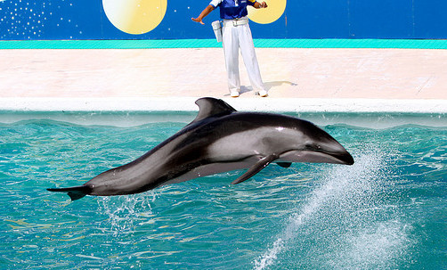 Captive Pacific White Sided Dolphin Komogawa SeaWorld Japan By Keiba Kate
