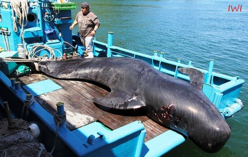 First pilot whale landed May 1, 2013 by International Wildlife Investigations