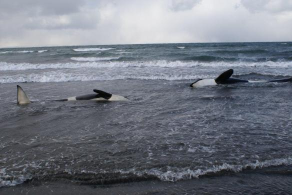 5 orcas strand off the Coast of Iceland April 29, 2013