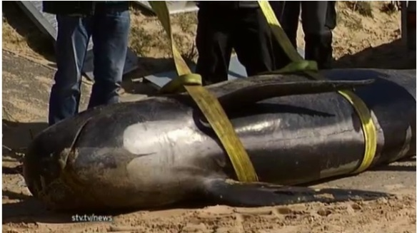 3 pilot whales stranded near Portmahomack, Easter Ross April 25, 2013