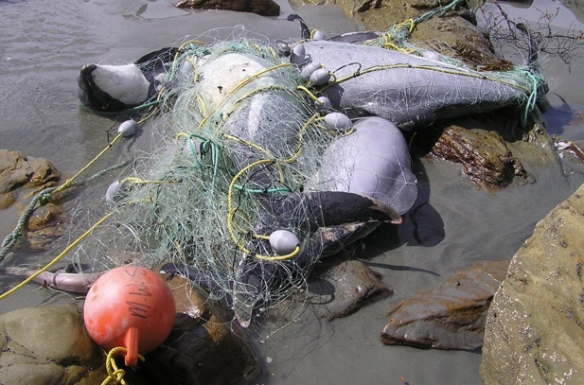Entanglement in Fishing Line has decimated the Maui's Dolphins Population