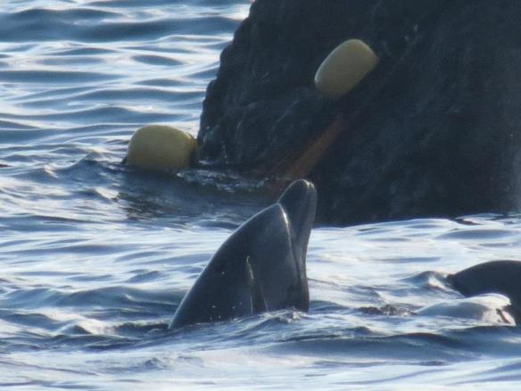 A bottlenose dolphin with a propeller slash to his head awaits slaughter February 5, 2013 by SSCG
