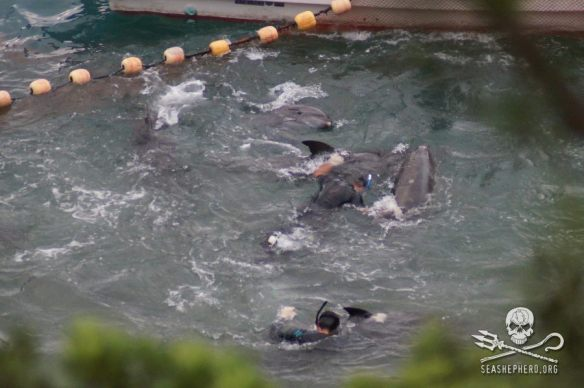 Frantically trying to stay with their family, these dolphins fight as hard as they can despite exhaustion. — at Taiji Japan. SSCG September 1, 2013