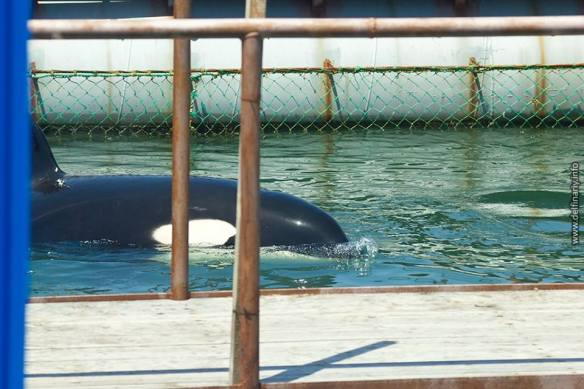 Orcas captured near Sakhalin Island area  Source: Russian Orcas