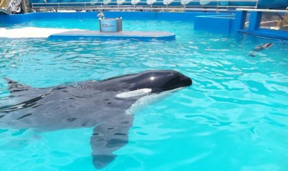 Lolita has performed for 43 years at Miami Seaquarium. Read the Plan for her retirement.