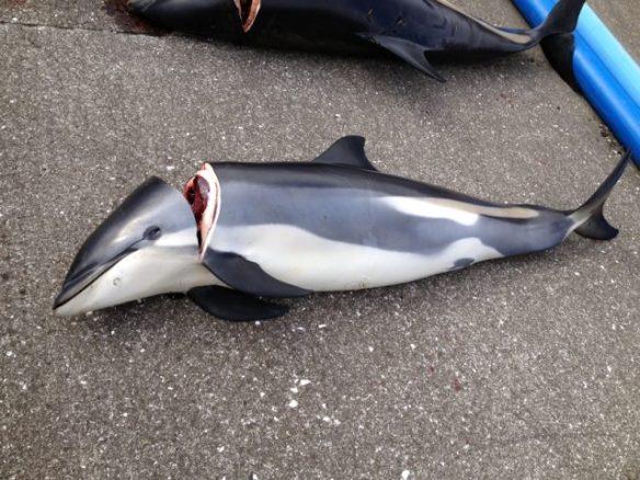 13-08-2013Hvalba 430   Hvítskjórutir springarar/White-sided Dolphins 2603 - skift til norðaru helvt í Suðuroy