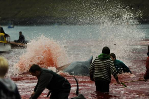 Whales thrash their families are slaughtered in the shallow waters.