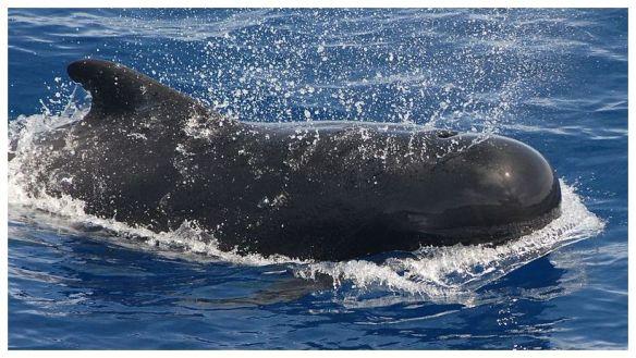 Pilot whale noaa.gov