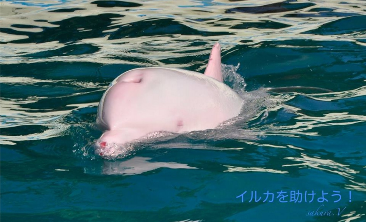 Albino Bottlenose Dolphin Captured In The Cove Brings ...