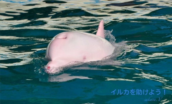 Rare Albino Dolphin Brutally Taken From Mother for Captivity. Image by Sakura Paia of The Ric O'Barry Dolphin Project