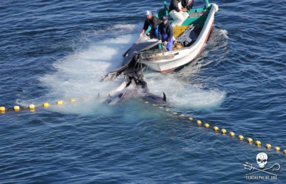 Bottlenose dolphins not chosen for captivity are slaughtered or paralzyed in the cove then dragged to the butcher house. by SSCS Cove Guardian January 9, 2013