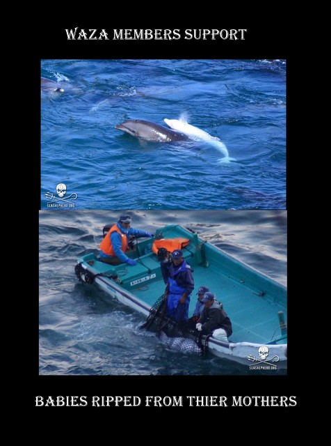 The Albino Baby Dolphin Never Left it's Mothers side Until it was Brutally Captured in The Cove By SSCS Cove Guardian January 18, 2014