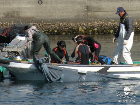 Dolphin killers and IMATA certified trainers work side by side. This dolphins parents were slaughtered during it's capture.