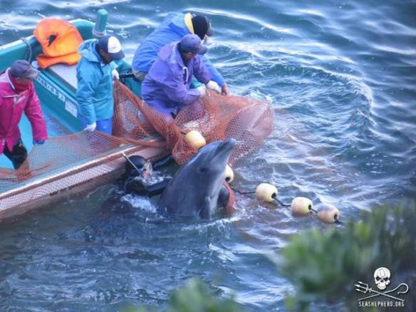 The violent process of captive selection is exactly what Marine Parks do not want you to see. — at Taiji Japan SSCS Cove Guardians January 20,2014