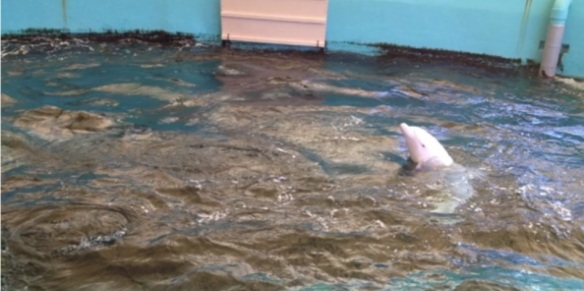 Angel the albino dolphin in a dilapidated tank at the Terrible and Cruel Taiji Whale Museum