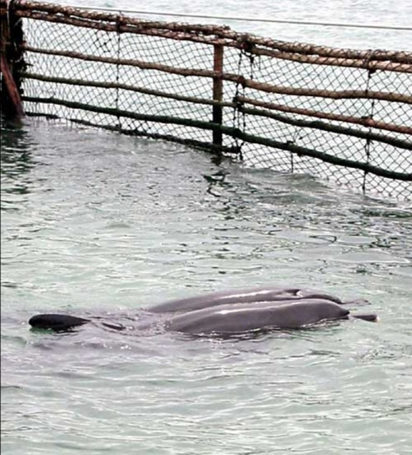 MEL kept the dolphins in a shallow, murky fenced off area that took many lives.