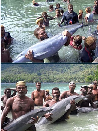 Solomon Islanders capture dolphins for Ocean Embassy / WIN