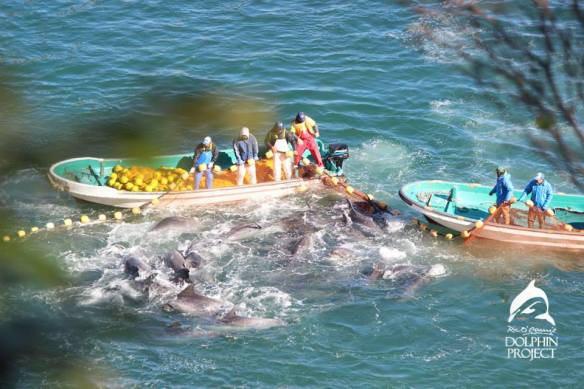 Chaos erupts during the bottlenose dolphin capture and slaughter in the cove. By the Ric O'Barry Dolphin Project