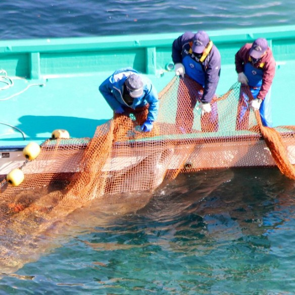 A violent live capture is  of a bottlenose dolphin is underway as one dolphin is stuck in net