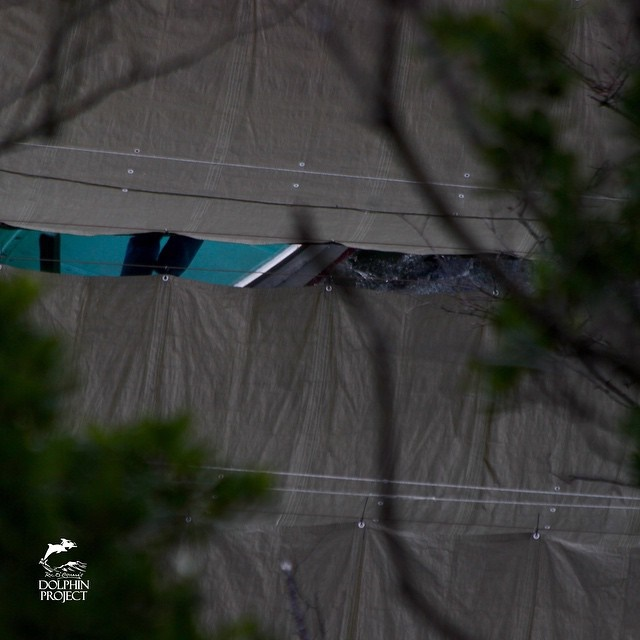 9:40 am. Loud thrashing under tarps as last remaining striped Dolphins are killed. Via Ric O'Barry Dolphin Project January 14, 2015