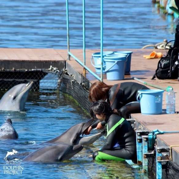 Taiji: 1:30 pm. Checking on the captives at Dolphin Base. A trainer is force feeding fluid to one of the captives 2015-02-14