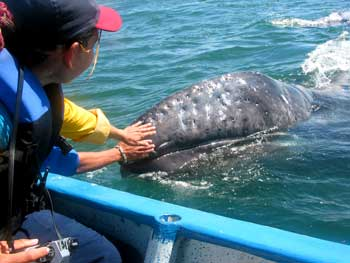 03-06-2013: San Ignacio Lagoon and Petting the Gray Whale Calves