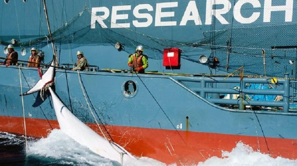 Makah Whaling interests renewed by Japanese Whalers