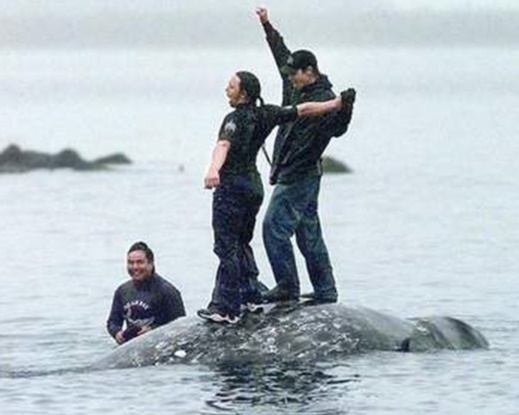 Makah tribal members celebrate on the back of a gray whale killed in the 1999 hunt as it's brought to the beach in Neah Bay.
