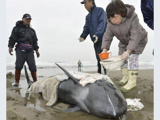 Local residents and volunteers of Hokota, Ibaraki worked tirelessly to save the lives of 150 melon headed whales stranded on the beach of Ibaraki.